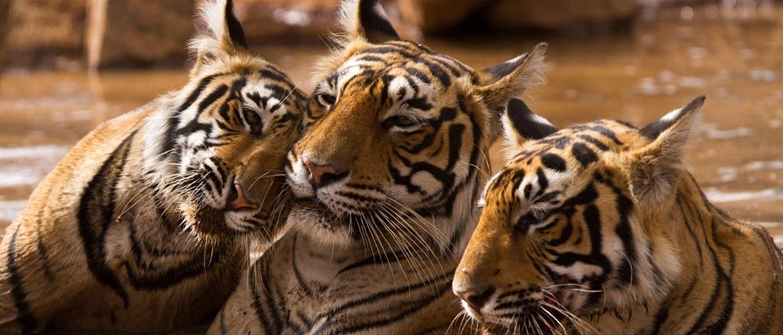 Tiger δάσος μεγάλο πουλί
